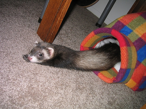Image result for To Incorporate or else To Incorporate a Ferret to your residence